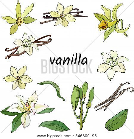 Set Of Vanilla On A White Background. Color Vector Illustration Of Flowers, Vanilla Sticks Hand-draw