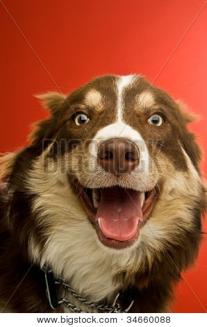 Border Collie isolated on a red background