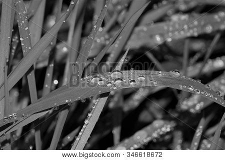 Black And White Grass With Waterdrops Close Up