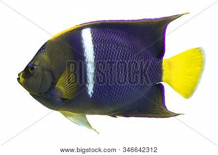 Tropical Coral Fish King Angelfish (holocanthus Passer) Isolated On White Background