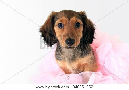 Longhaired dachshund puppy wearing a pink ballerina tutu