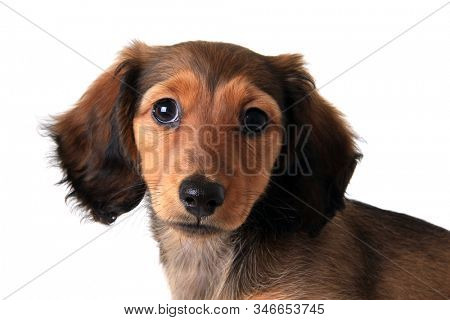 Longhair dachshund puppy looking at camera. Studio isolated on white.