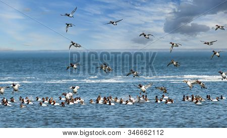 Flock Of Migrating Canvasback Ducks Flying And Landing In The Chesapeake Bay In Maryland During Wint