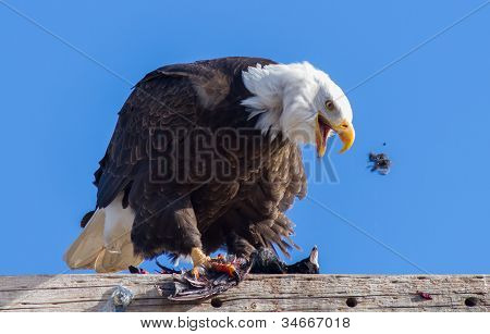 Bald Eagle Feeding On An American Coot