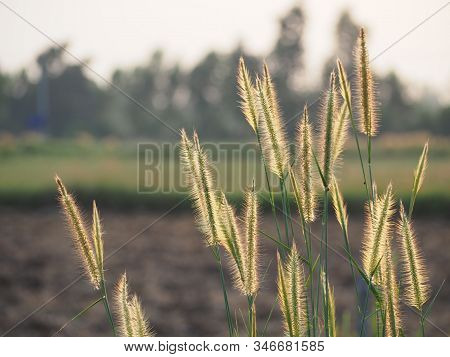 Poaceae Grass Flower Field With Soft Sunlight For Background.