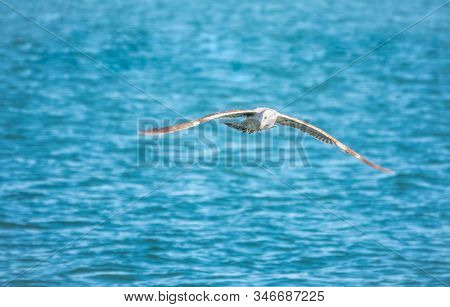Sea Gull Flies Over Blue Water. The Great Black-backed Gull, Larus Marinus, Flying On Blue Clear Sea