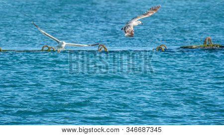 Two Sea Gulls Fly Over The Water. The Great Black-backed Gull, Larus Marinus, Flying On Blue Sea Bac