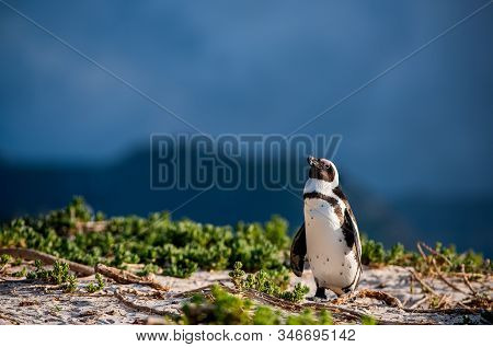 African Penguin Also Known As The Jackass Penguin, Black-footed Penguin. Scientific Name: Spheniscus