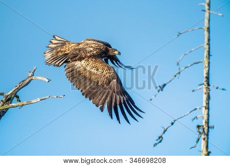Juvenile White-tailed Eagle  In Flight. Side View. Sky Background. Scientific Name: Haliaeetus Albic