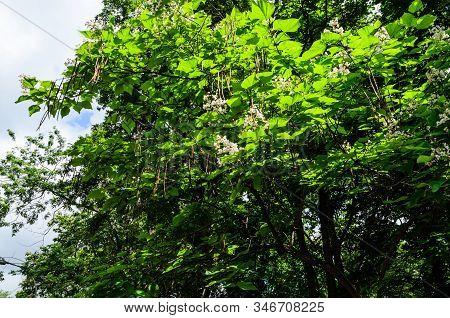 Flowers Of The Catalpa Tree On Summer