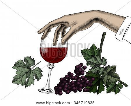 Female hand holding a glass with red wine, bunch of grapes  isolated on white. Vintage engraving color stylized drawing.