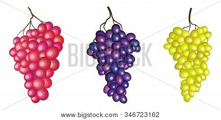 Sultana Grape, Green, Red And Purple Branches Vector Illustration Isolated On White Background. Wine