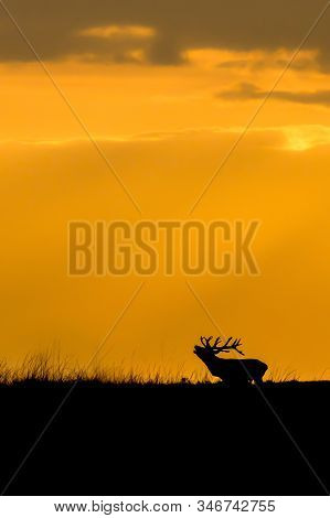 Silhouette Of A Red Deer (cervus Elaphus) Stag In Rutting Season On The Field Of National Park Hoge