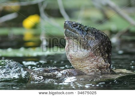 Male Common Snapping Turtle Mating