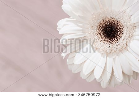 Delicate White Gerbera Flower Close Up On Cream Colored Background. Natural Flowery Greeting Card, B