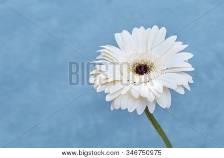 Delicate White Gerbera Flower Close Up On Blue Colored Background. Natural Flowery Greeting Card, Ba