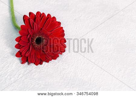 Bright Red Gerbera Flower Close Up. Natural Flowery Background With Copy Space For Holiday Card Or P