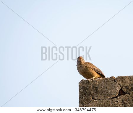 Jungle Babbler Is A Member Of Leiothrichidae Found In India