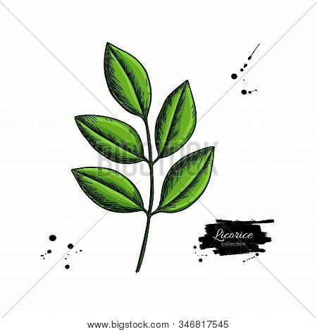 Licorice Plant Branch Vector Drawing. Botanical Leaves Illustration