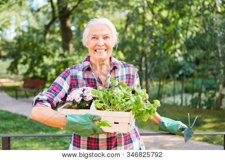 Senior in summer gardening while gardening with flowers and basil