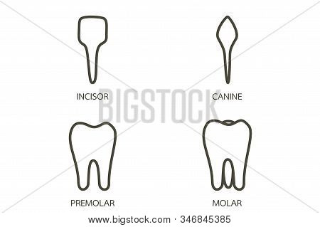 Type Of Tooth ( Incisor, Canine, Premolar, Molar ) - Dental Cartoon Vector Outline Flat Style Cute C
