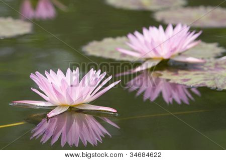 Two water lily