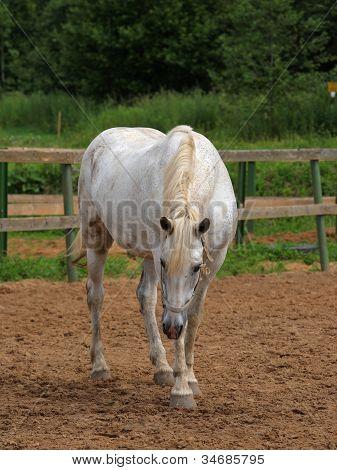 White mare in farm