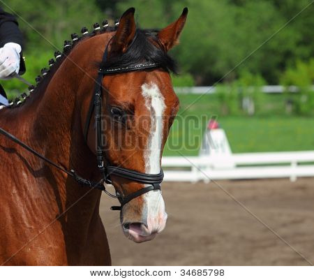 Dressage bay horse portrait