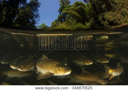 Freshwater fish: Soro Brook Carp in river below waterfall