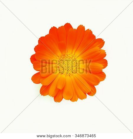 Gerbera Daisy Flower Close Up Isolated On The White Background. Calendula Officinalis Flower