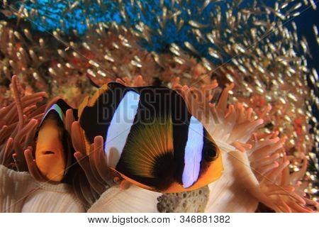 Pair of Clark's Anemonefish clownfish fish in anemone