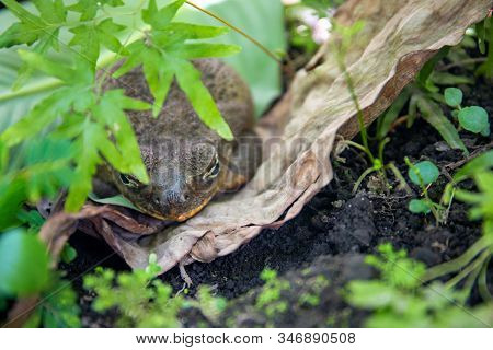 Tropical Frog Hides In Green Plants. Mimicry Skill Of Tropical Toad. Exotic Animal Closeup. Tropical