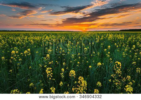 Sunset Sunrise Sky Over Horizon Of Spring Flowering Canola, Rapeseed, Oilseed Field Meadow Grass. Bl