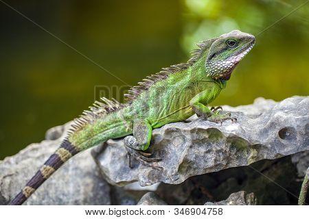 Green Iguana (iguana Iguana) Sitting On On A Tree Branch In Natural Habitat, Close-up