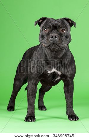 Beautiful Dog Of Staffordshire Bull Terrier Breed, Dark Color With Tiger Inclusions, Standing On Bri