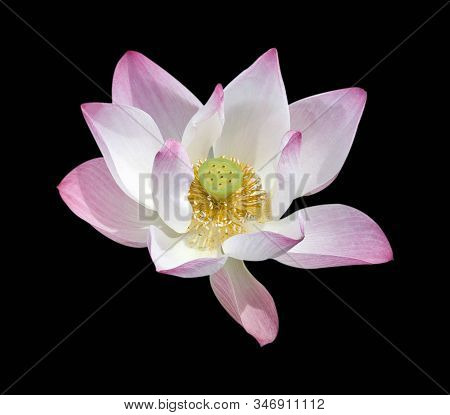 Lotus Flower Isolated On Black Background.