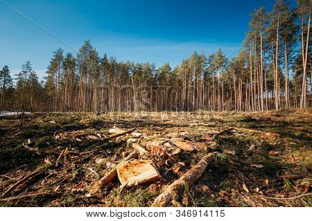 Fallen Tree Trunks And Stumps In Deforestation Area. Pine Forest Landscape In Sunny Spring Day. Gree