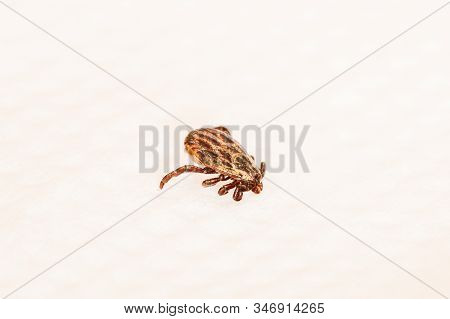 Dermacentor Reticulatus On White Paper Background. Also Known As The Ornate Cow Tick, Ornate Dog Tic