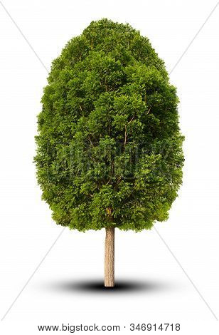 Tree Isolated On White Background. For Design