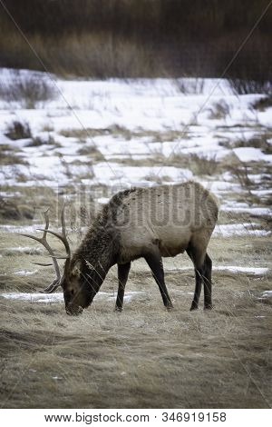 Bull Elk Grazing In A Meadow In Rocky Mountain National Park