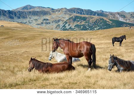 Horses On Alpine Plateau In The Carpathian Mountains, Romania. View Of Transalpina Tourist Highway A