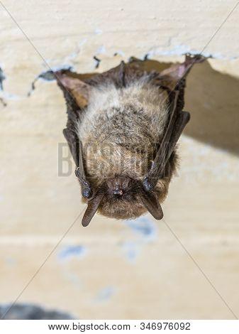 Whiskered Bat (myotis Mystacinus) Hibernating On Ceiling Of Underground Bunker In The Netherands