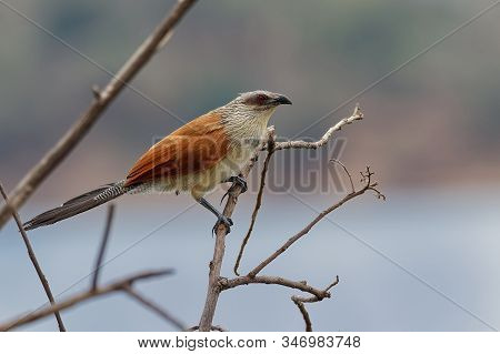 White-browed Coucal - Centropus Superciliosus A Species Of Cuckoo In The Cuculidae Family, Found In
