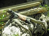 Common chuckwalla lizards sitting on a piece of wood. poster