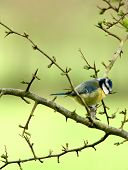 a blue tit perched on a hawthorn branch in spring. poster