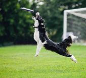 flying dog catching disc in jump ** Note: Slight graininess, best at smaller sizes poster