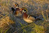 Wood Duck drakes walking in the tall grass in the evening light poster