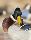 Preening Mallard drake with geese in the background poster