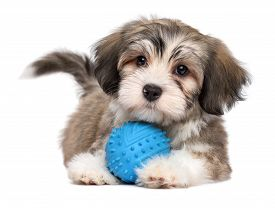Cute Lying Havanese Puppy Dog With A Blue Toy Ball - Isolated On White Background