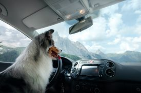 Trip With A Dog In The Car. Traveling With A Pet. Merle Australian Shepherd At The Wheel. Adventure